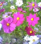 薄紫の妖精