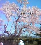 蝦夷彼岸桜